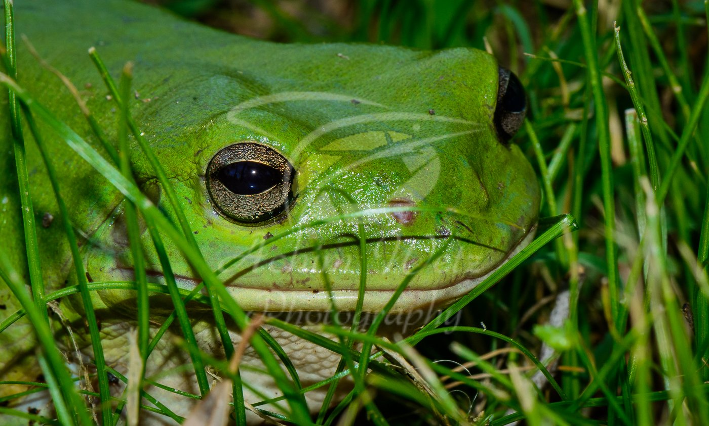 Green Tree Frog 0822