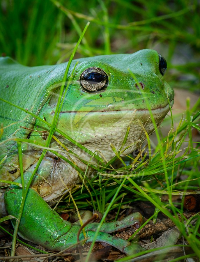 Green Tree Frog 0834