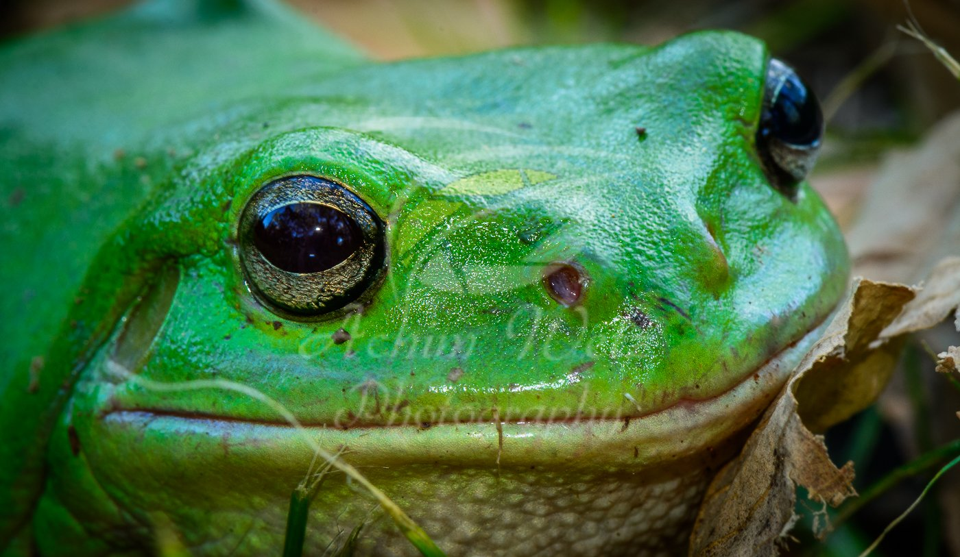 Green Tree Frog 0844