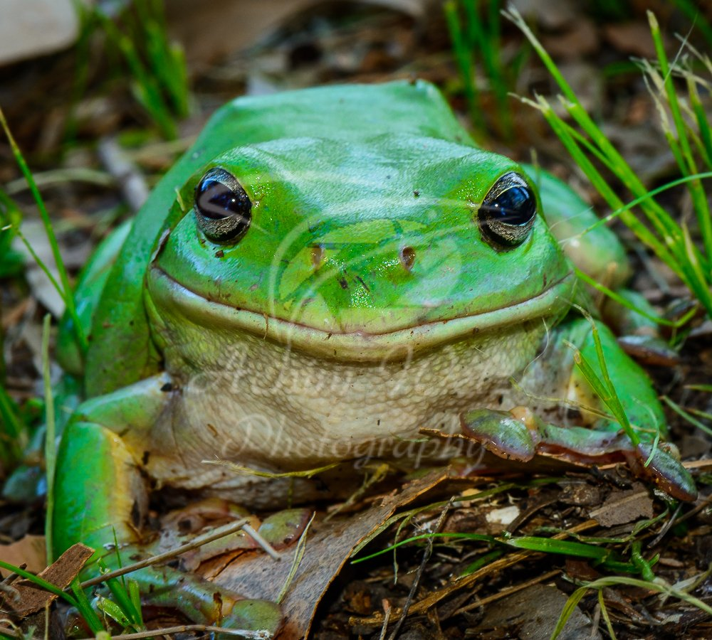 Green Tree Frog 0847