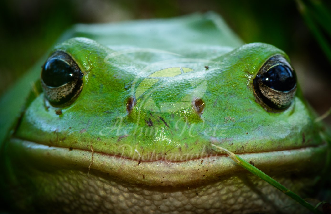 Green Tree Frog 0851
