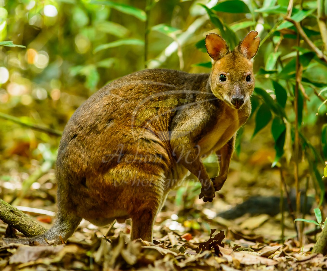 Wallaby 0966
